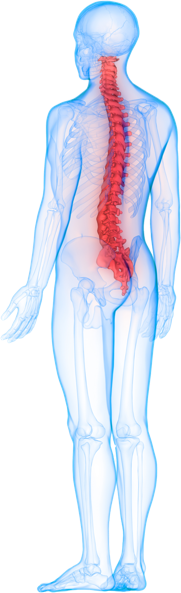 spine diagram