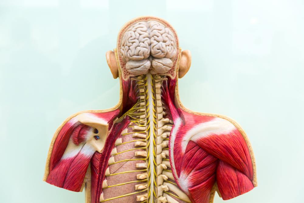 model of brain & spine